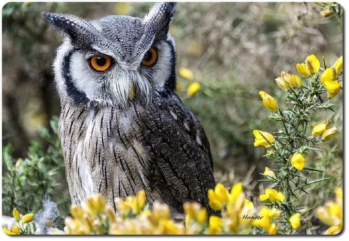 RT @HootyhooCL: White faced scops owl https://t.co/x18RXfvGXI