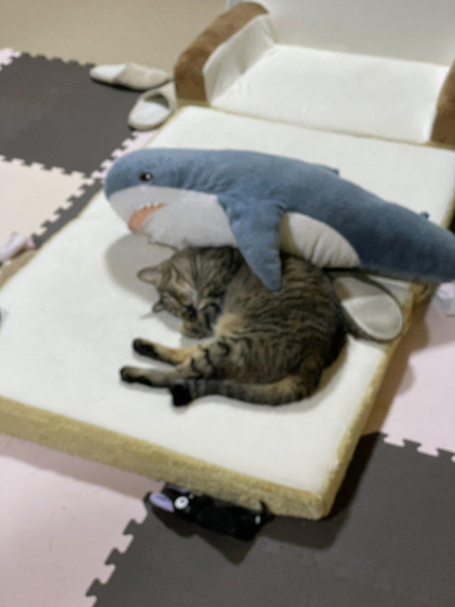 偶然サメに抱きしめられてたねこでもみろ