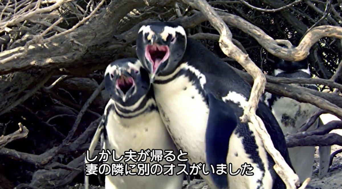 人間以上にドロドロ?夫がいない間に妻が間男に取られるペンギンの世界!