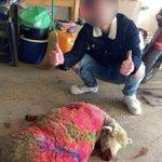 Image for the Tweet beginning: [THREAD] Un mouton tué après