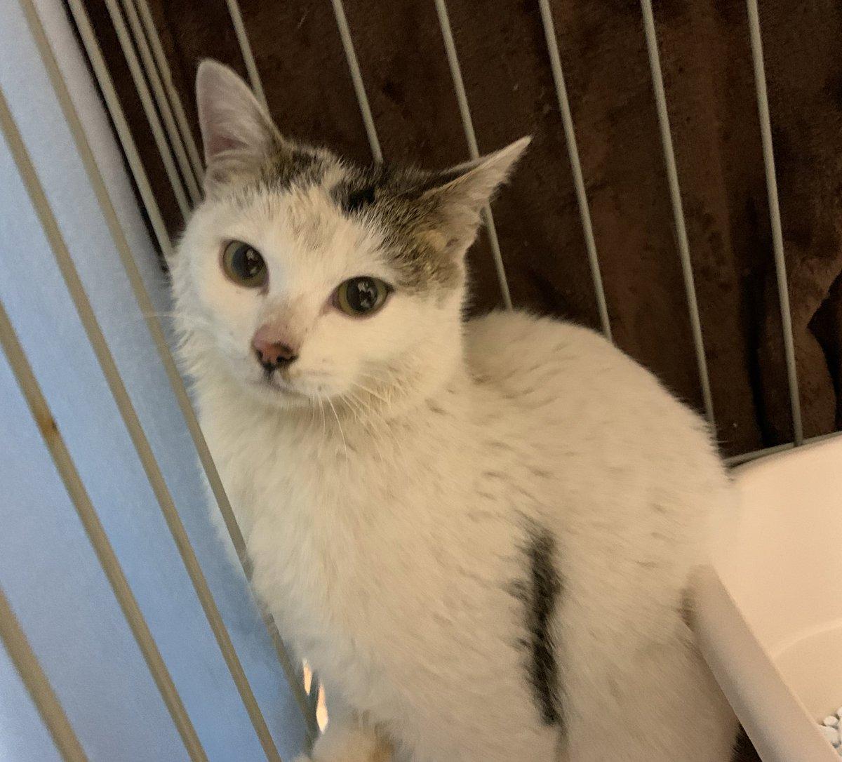 【猫を探しています‼️】 かつらちゃんが里親さん宅から脱走し行方不明です。 小さな情報でも結構です。目撃された方、お心当たりがある方はDM下さい。どうしても、どうしても見つけてあげたいです。どうしてもです‼️ 宜しくお願い致します‼️ #千葉県 #船橋市 #三山 #4丁目  #拡散希望 #迷子猫 #迷い猫
