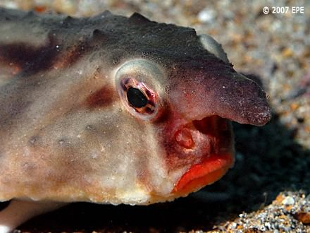 Red-lipped batfish can be found in the waters of the Galapagos. They are not good swimmers, & use modified fins to walk along the seafloor. (Photos: Rein Ketelaars)