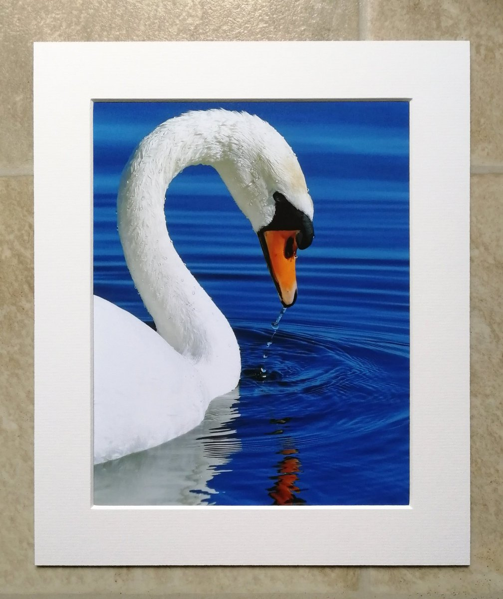 'Graceful Swan' - 10x8 mounted print. 😊    You can buy it here; https://t.co/HeS6F5UaNk 🐦 https://t.co/L7hHeuYF2u