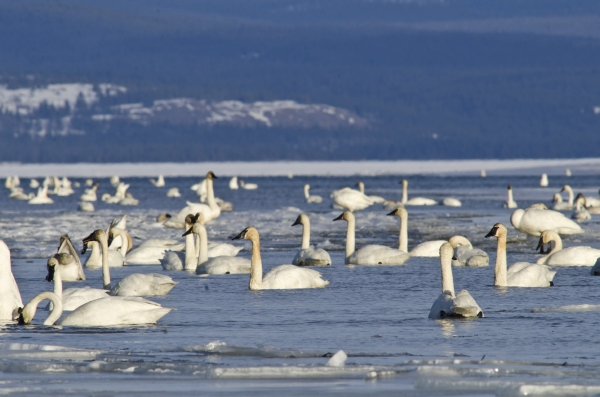 #Swans, swans and more swans have arrived! 3,006 #TrumpeterSwans were counted last night, just 40 shy of our all time record set on April 13, 2019.  This is 5% of the global population of Trumpeter Swans overnighting at Swan Haven.  #WildlifeWednesday #yukon #yukonwildlife https://t.co/R1r9nMVUab