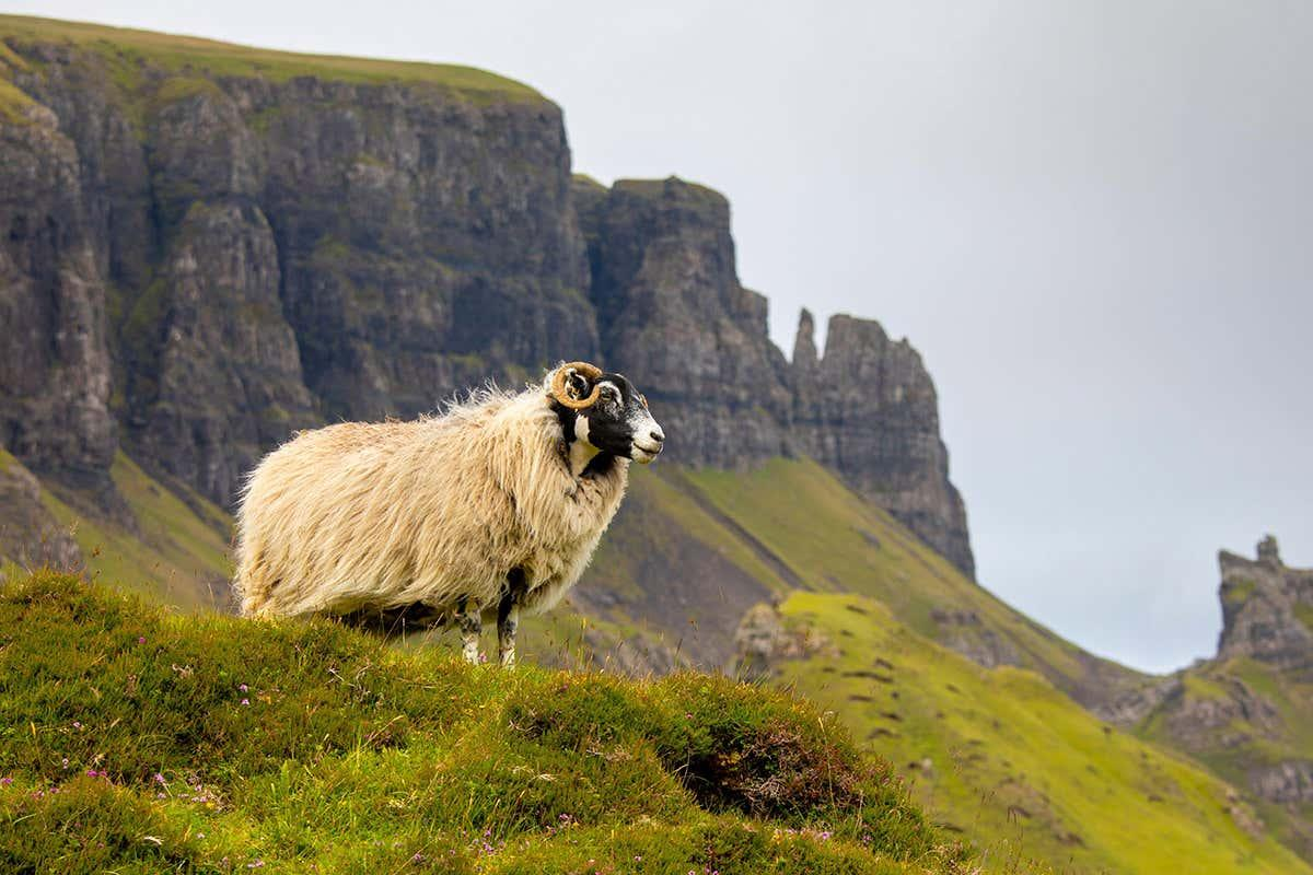 newscientist: Ewes prefer to mate with submissive rams when given a choice