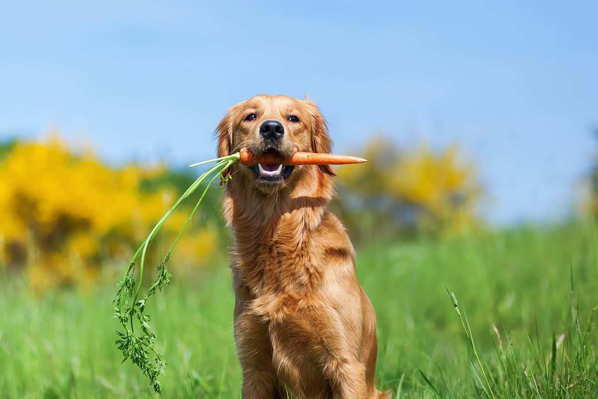 newscientist: Bronze Age dogs ate little meat and had to feed on cereals instead