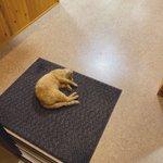 不特定多数の人が往来する温泉で爆睡する猫!お客さんは猫のジャマにならないよう渡っているw
