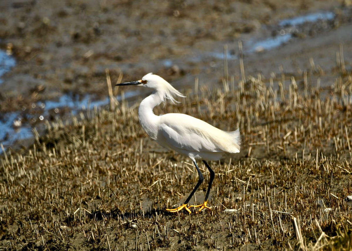 RT @ChefHiking: Snowy egret have arrived in Portland. #EgretsOnEaster  #birdwatching #birdphotography #BirdTwitter https://t.co/DRs67YL6Ux