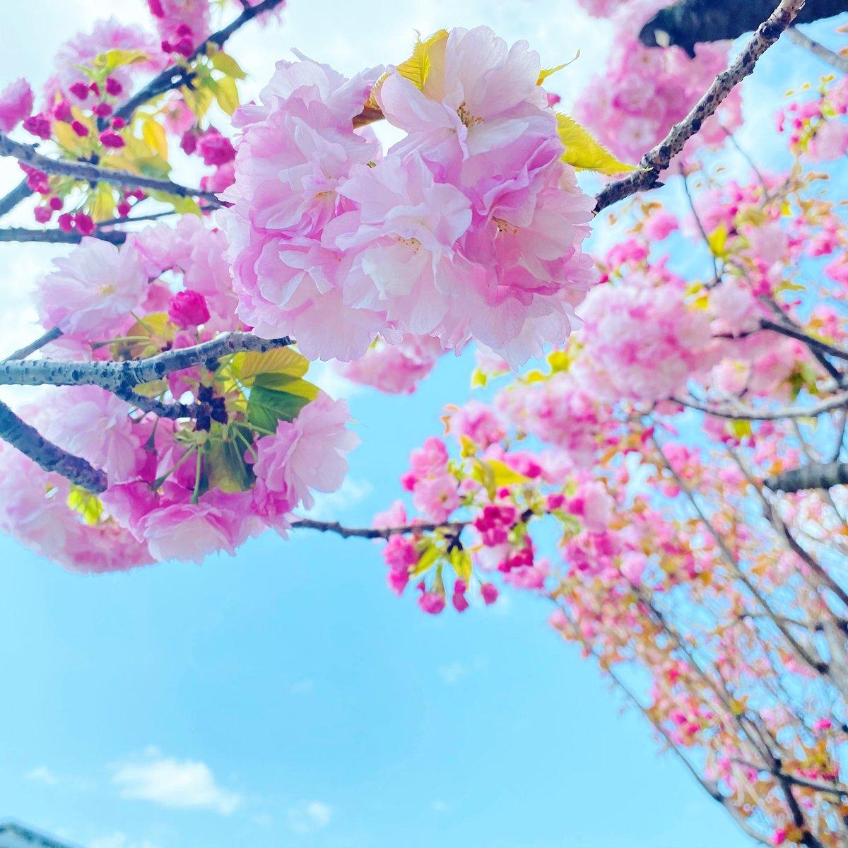 #SAKURA 2021⬇️   #photooftheday #bloom #Flowers of  #tree  #Japan #Japanese #beauty