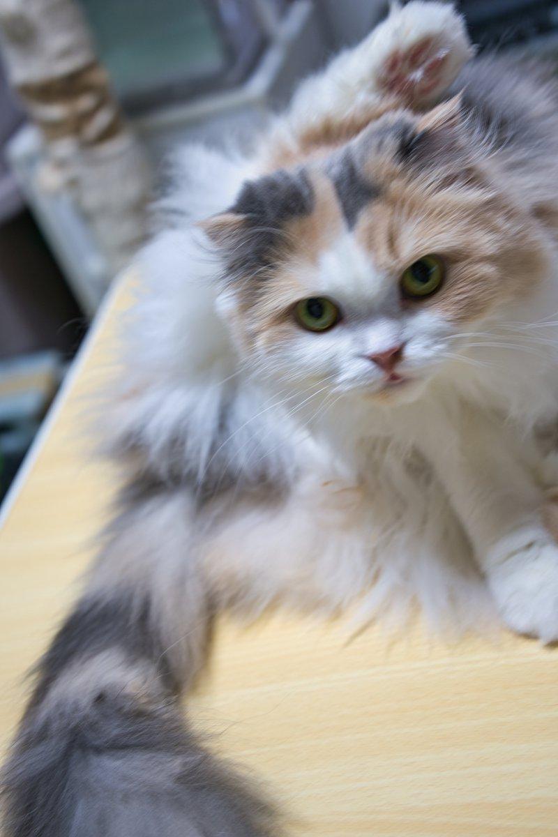 スコティッシュ フォールド 子猫