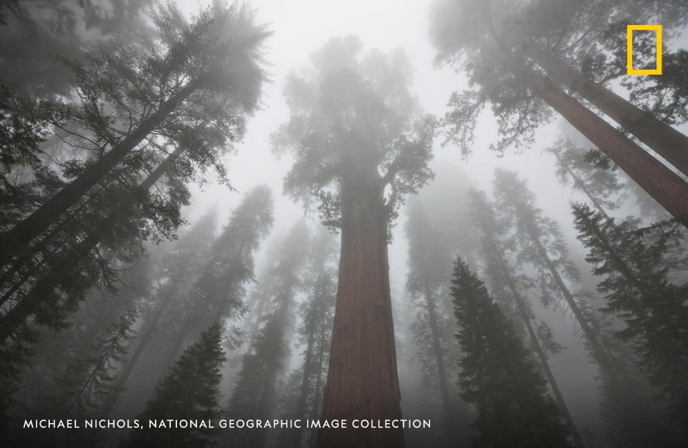 The General Sherman Tree, the largest tree in the world, stands proudly in this image captured by photographer Michael Nichols in California's Sequoia National Park https://t.co/aSTFUMp97r