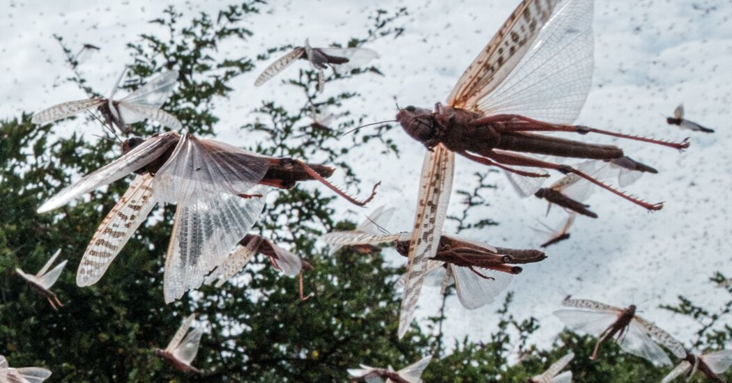 As Locusts Swarmed East Africa, This Tech Helped Squash Them Photo