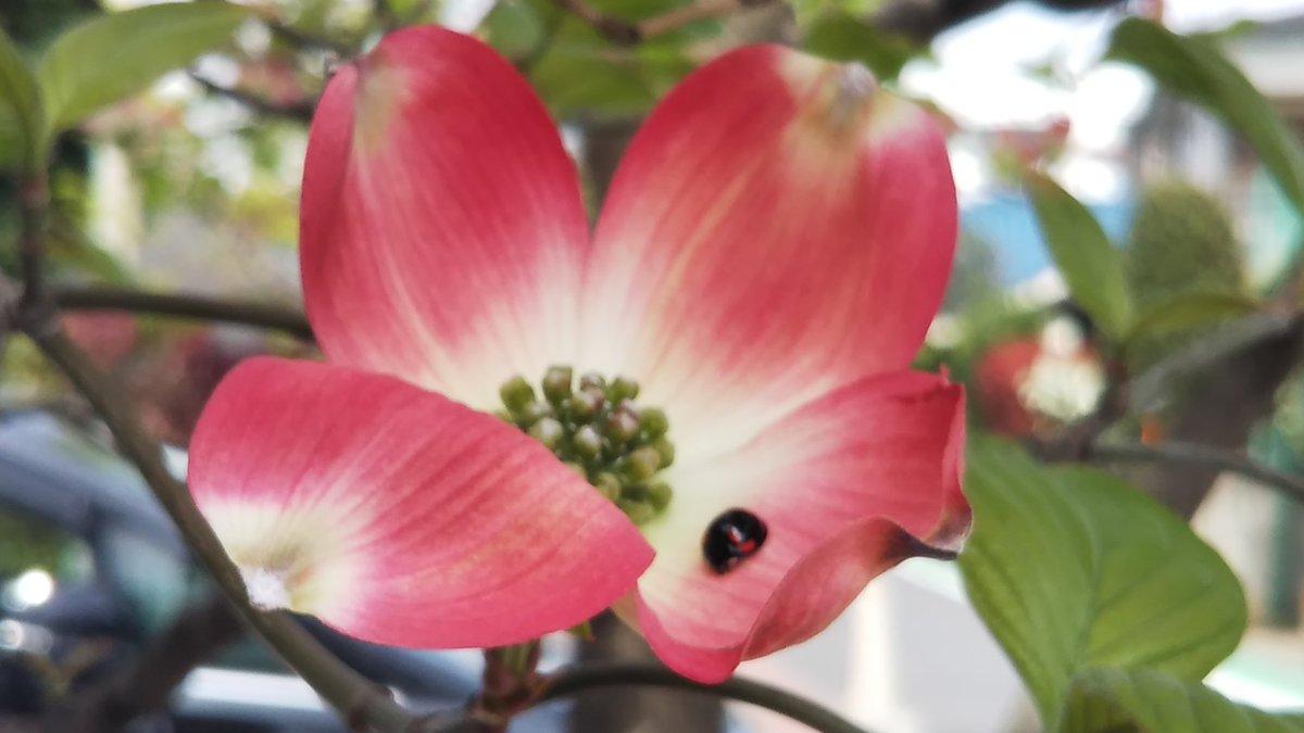 RT @mukai70975852: #ハナミズキ てんとう虫が花びらの上で休んでた  #日本を再び偉大な国へ https://t.co/fL2W3FkPtY