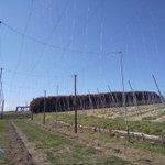 Image for the Tweet beginning: 昨日、今日とホップ畑に誘引線を設置しました。ちょっと見えにくいですが、手前のキラキラした細い線。「緑のカーテン」の骨格です😉👌 #フレッシュホップフェスト #フレッシュホップ #オラホビール