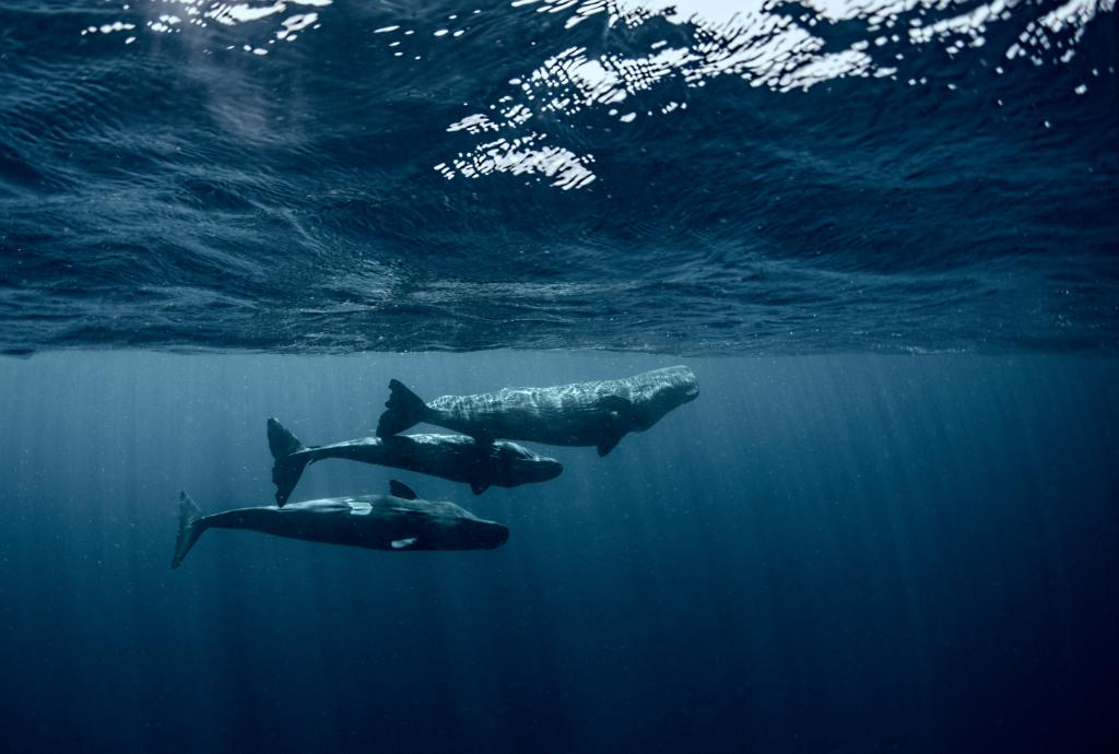 You'll be able to learn much more about whale culture in the May issue of @NatGeoMag out next week on the 15th of April. It was an honour to work with @Brian_Skerry, @SteveDeNeef and to introduce @CraigAWelch to the whales and their families.  📷: @DomWhale https://t.co/YWUuWtzGoX