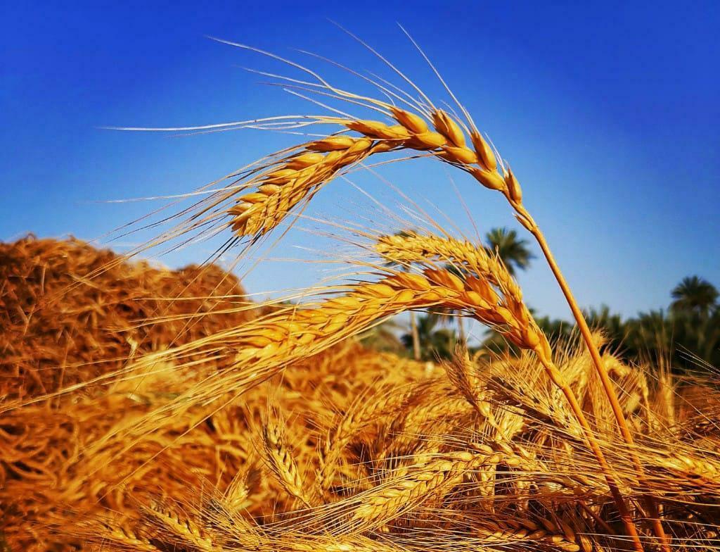 موسم حصاد محصول القمح لهذه السنة يبدأ في 14 مزرعة من مزارع ولايتي الكامل والوافي وجعلان بني بو حسن. نشرة المحافظات