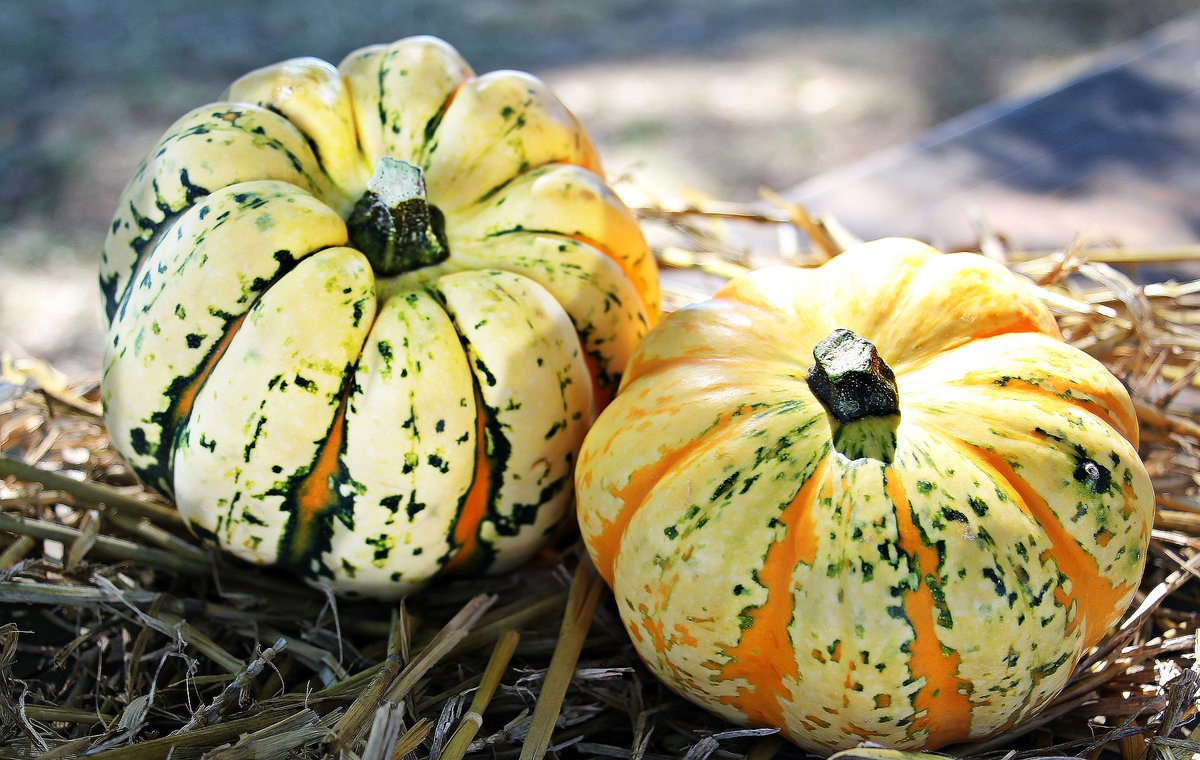 """test Twitter Media - """"The largest pumpkin in the world weighs 2,323 pounds. It was grown in Switzerland by Beni Meier"""" 'Notes on Various Squashes', Padraig Regan in Poetry Review Autumn 2017 Join @PoetrySociety prompts for #NaPoWriMo 2021 Day 11's prompt is: A poem that uses a piece of trivia https://t.co/pFQZV7ckq3"""