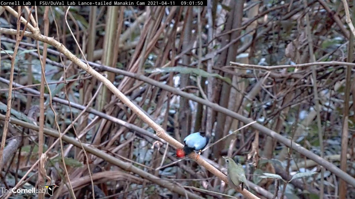 Outstanding!  The live-streaming lance-tailed manakin cam has captured what may well be this male's first successful display as alpha.  He's been a beta for years and was unexpectedly promoted to alpha right before the cam when live this year.  1/2 https://t.co/kYhQ2KO4Dm