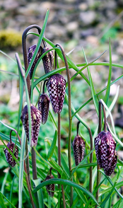 RT @Haggewoods: Fritillaria meleagris, Snake's Head Fritillary  @wildflower_hour  #WildFlowerHour https://t.co/CwCseHyzM4
