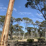 Found scattered throughout the region, Salmon Gum over scrub is a Critically Endangered Eucalypt Woodland of the Western Australian Wheatbelt. #NLP https://t.co/x81kk0Ri9e