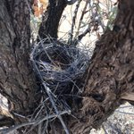 Always a treat to find bird nests in Sandalwood trees during our field surveys, including fragile-looking nests of nyii nyii (Zebra Finches) #TheGreatSandalwoodTransect  #SantalaceaeScience #MartuCountry