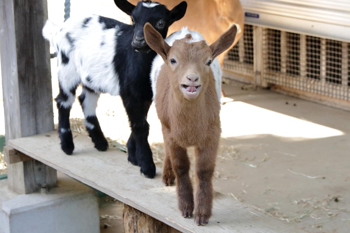 ここまで一緒は珍しい?ハッキリと模様が一致しているヤギの双子!