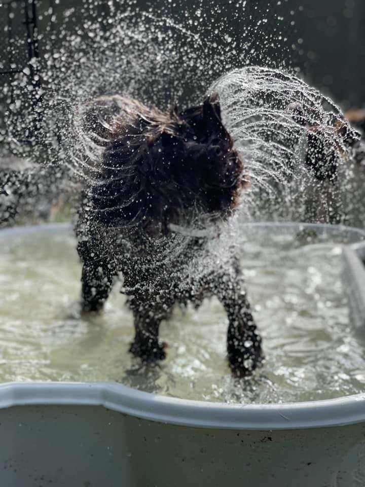 Featuring Mocha, the Portuguese Water Dog doing what she's does best!! 💦🐕🦺 https://t.co/Vjxqw8hBc6