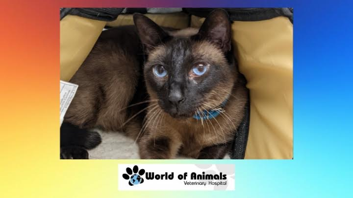 Loki With Such Stunning Blue Eyes #cats #CatsOfTwitter #CatsOnTwitter #picoftheday #veterinary #fridaymorning  #FridayVibes  #FridayFeeling  https://t.co/2n16EIyc5a https://t.co/JTX1xojpKS