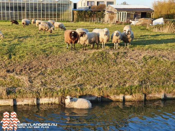 Schaap te water Van Luyklaan https://t.co/wyRhhE5cii https://t.co/s7AGTqTNP7