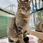 Image for the Tweet beginning: 📷:2021/04/02 〖 カツラくん 〗  フワフワの毛のおかげで強そう💪(`・ω・´💪)  #保護猫 #秩父 #秩父市