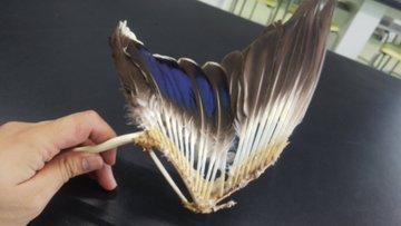 自然物の観察において僕が見逃してることなんてたくさんあるとは思うのですが、生徒の眼にかかると本当にアッと思うような気付きがあったりするもので。先日カモの翼の標...