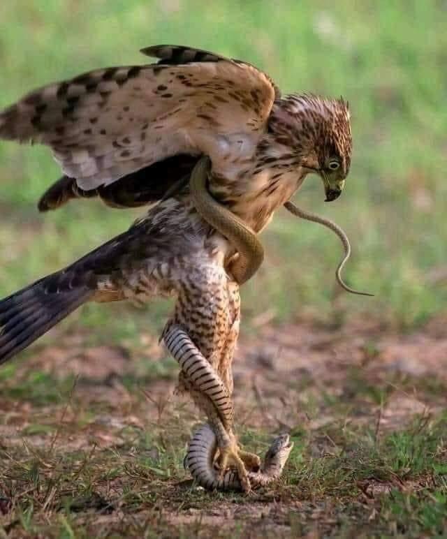 #eagles VS #snakes