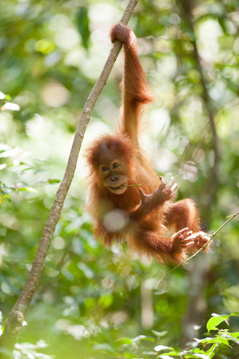 OrangutansSOS photo