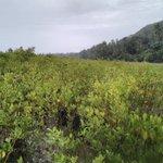 Image for the Tweet beginning: Dernière mangrove de Mayotte prospectée