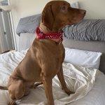 Maxx likes wearing his red bandana ❤️ #Vizsla