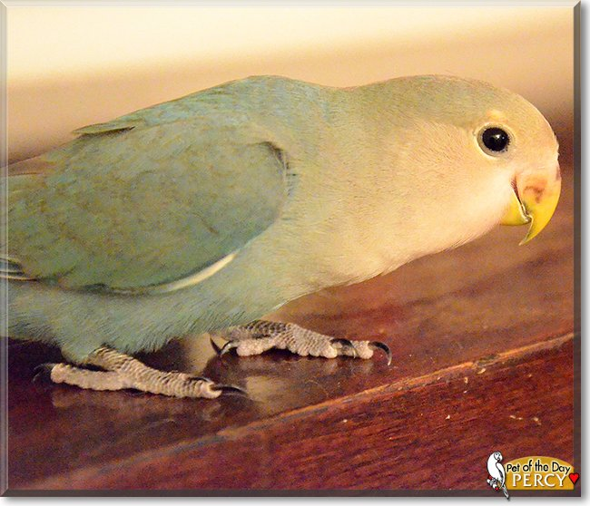 Thursday's Pet of the Day is #cute Percy, a #Lovebird #love - read his tale and see more photos at https://t.co/Wn4wMCnKJ9 #petoftheday #pets #petsofinstagram #pet #PetsOfTwitter https://t.co/LiVFyFY3lE