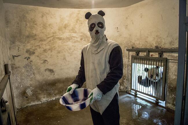 パンダに変装して飼育するスタッフと、背後で覗いてるパンダが可愛すぎるw