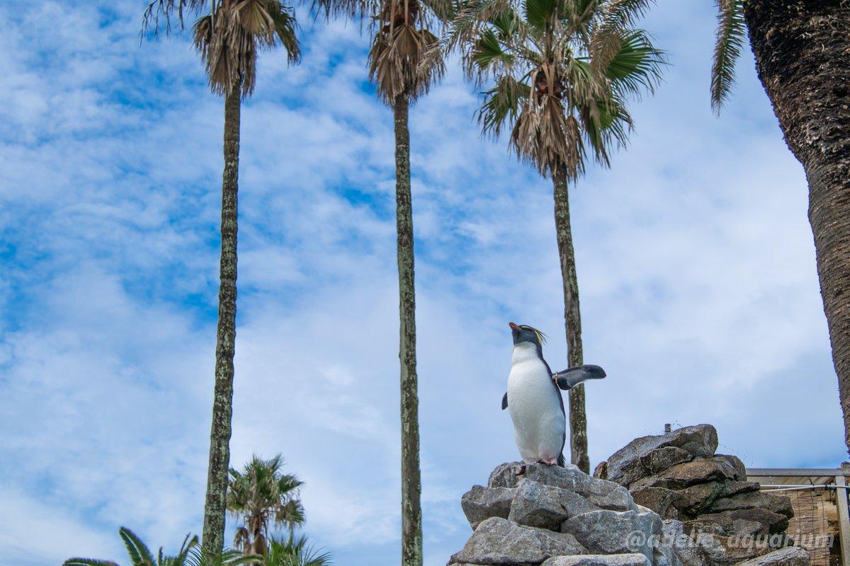 #キタイワトビペンギン #イワトビペンギン #NorthernRockhopperPenguin...