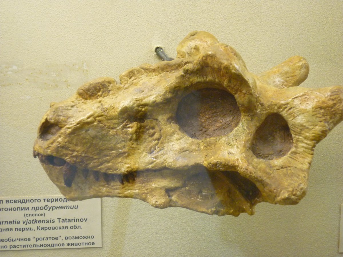 For #FossilFriday its a cute little Permian puppy. Proburnetia is a Russian burnetiid (stem mammal family) from about 255mya. Skull ~25cm long, on display at the PIN, Moscow. Note the weird lumps and bumps all over the skull, which in no way detract from the cuteness