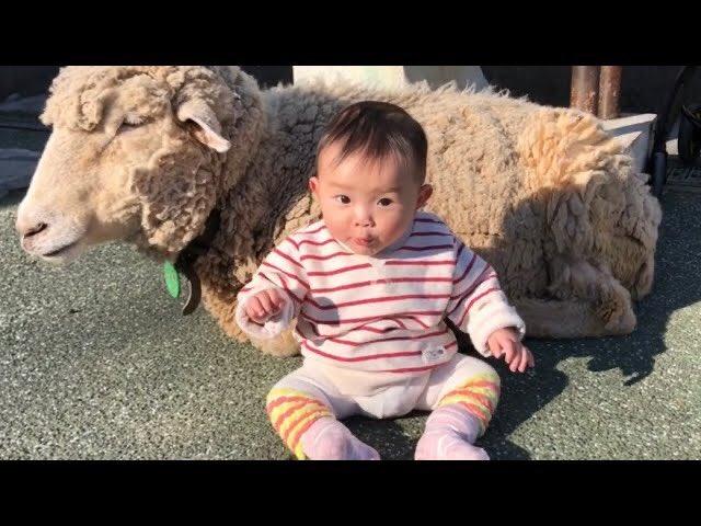 動画公開📺✨(sub channel✨) 背後に羊さんがいることには気が付いていない様子🐑0歳7ヶ月 youtu.be/J7hYu2s-CWU #村方乃々佳 #ののかちゃん #노노카 #nonokamurakata #ののちゃんねる #ののちゃん