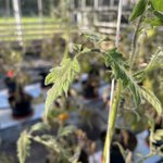 Image for the Tweet beginning: Our latest #Tomato glasshouse trial