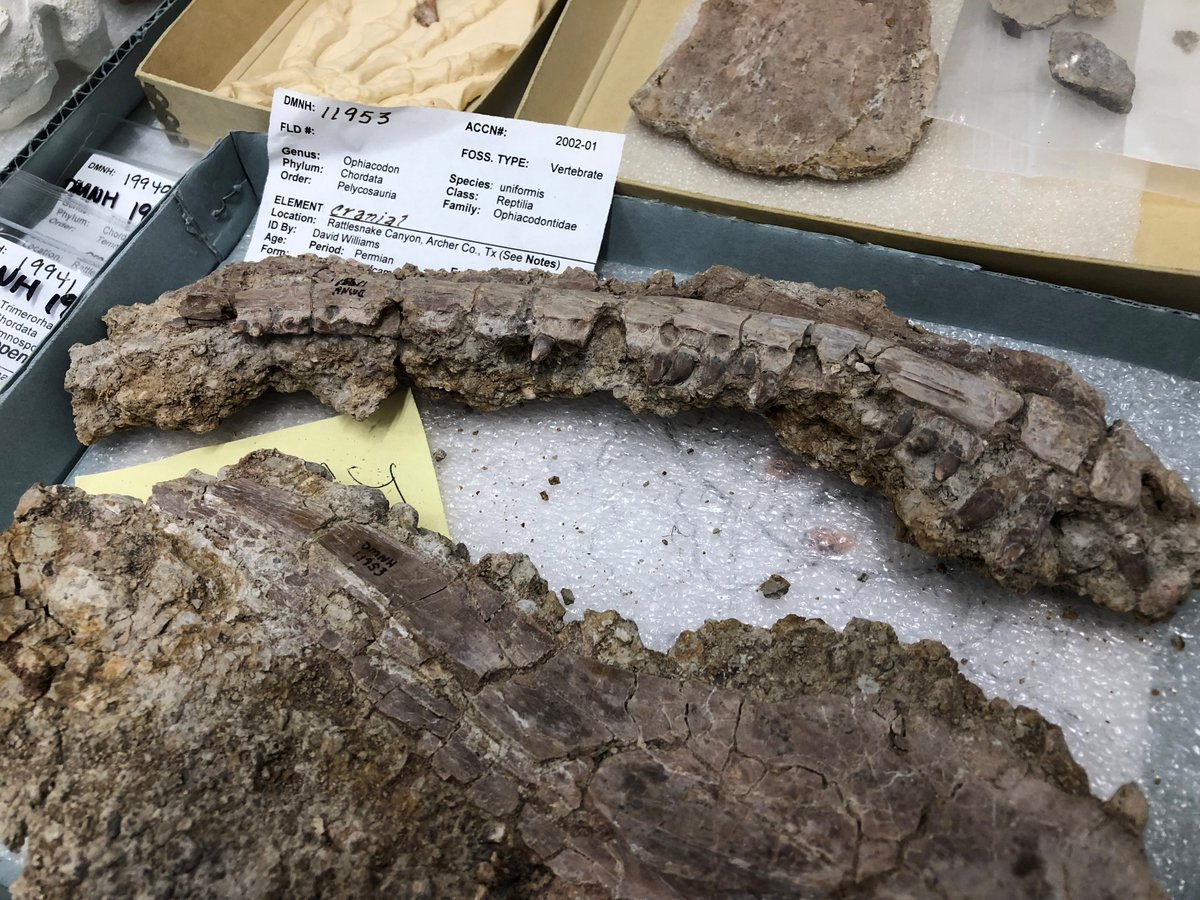 Found this #Ophiacodon jaw while poking through the just-unpacked @PerotMuseum #Permian collections. I hadn't previously appreciated how toothy these big-headed predators were! #FossilFriday #paleontology #fossils #synapsids