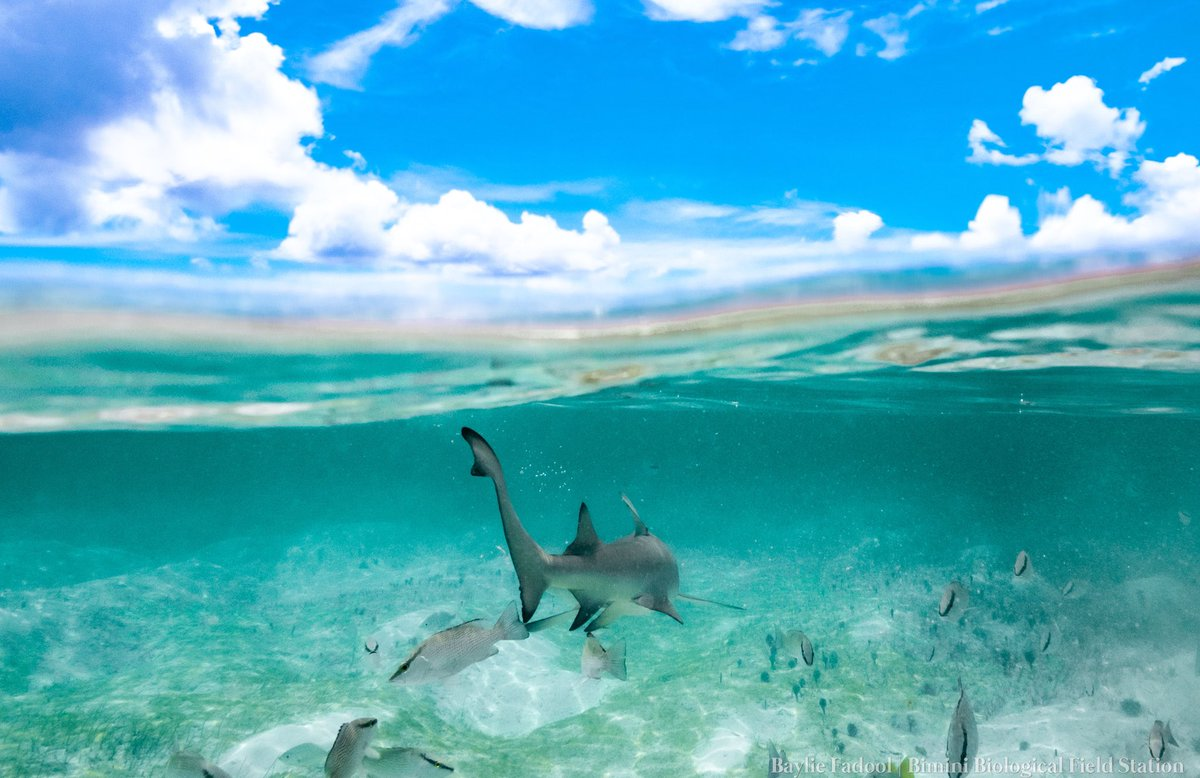 A world of many blues!  Visiting the juvenile lemon sharks on this fantastic Friday. We can always count on them to give us all the best angles and shots.  Hope everyone has a great weekend!  📸: @Baylie_Amber   #shark #sharks #research #conservation #marinelife #diving #uwphoto https://t.co/lSddutDw7S