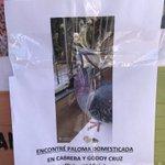 Image for the Tweet beginning: Las palomas domésticas de Palermo