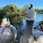Image for the Tweet beginning: Strike a pose! 📸  Bar-headed geese
