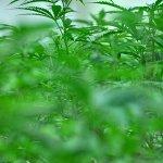 Image for the Tweet beginning: #cannabiscommunity #marijuana #cannabis City Council