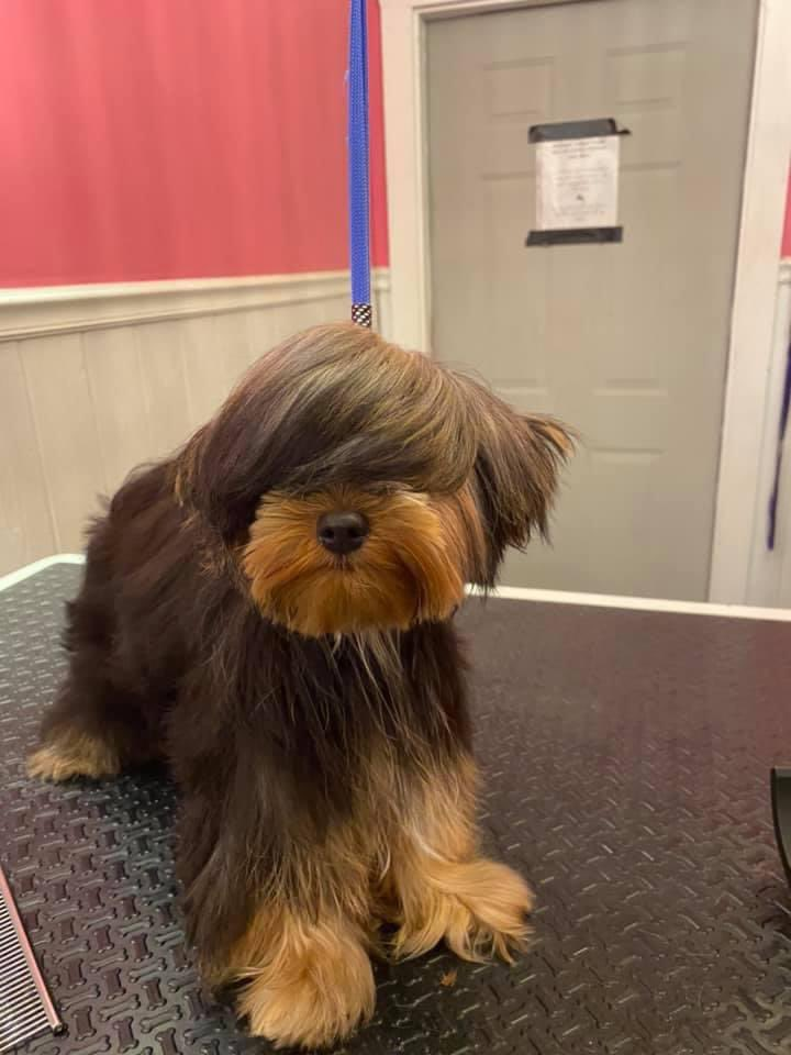 brown and tan terrier mix at the groomers. he has combed bangs covering both eyes