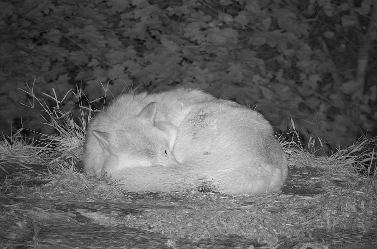 Did you know a wolf's fluffy tail doubles as a nose warmer? Curl up with Nikai right now on #Twitch ⬇ twitch.tv/wolfconservati…