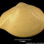 Image for the Tweet beginning: Today's #MolluscMonday tweet is the