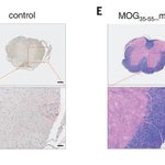 Image for the Tweet beginning: Researchers have designed an #mRNA